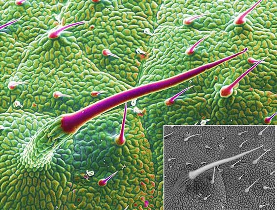 تصویربرداری از نمونه های زیستی با SEM